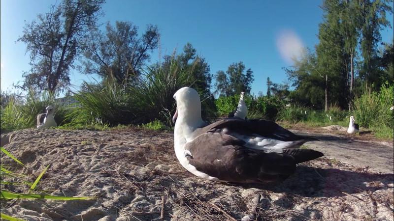 Midway Albatross Video - 21 November 2011