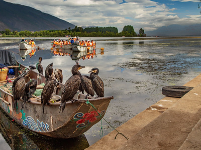 Cormorant Fishing Lijiang, China