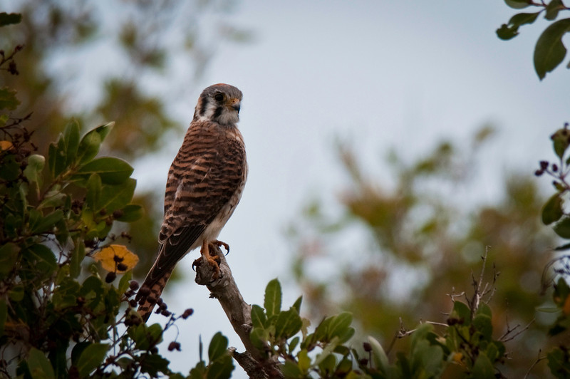 American Kestrel Flamingo, Everglades National Park Florida © 2011