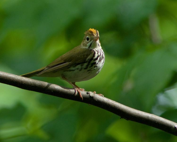 Ovenbird  Monticello Park, Alexandria VA