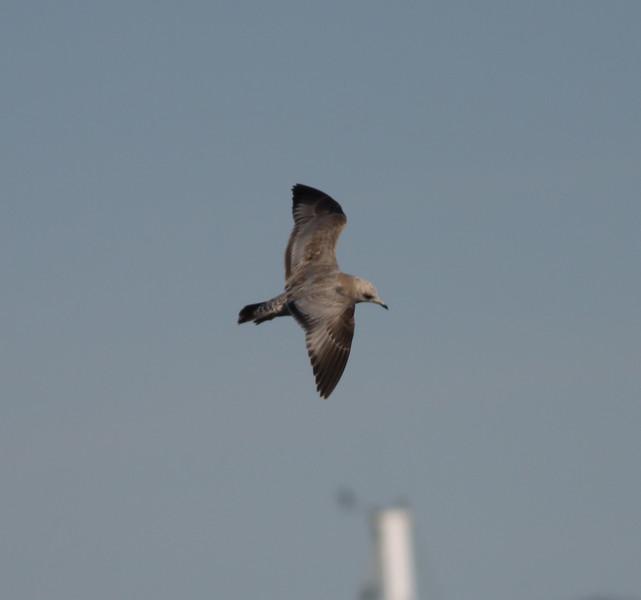 Mew Gull Oceanside  2012 01 04 (6 of 6).JPG