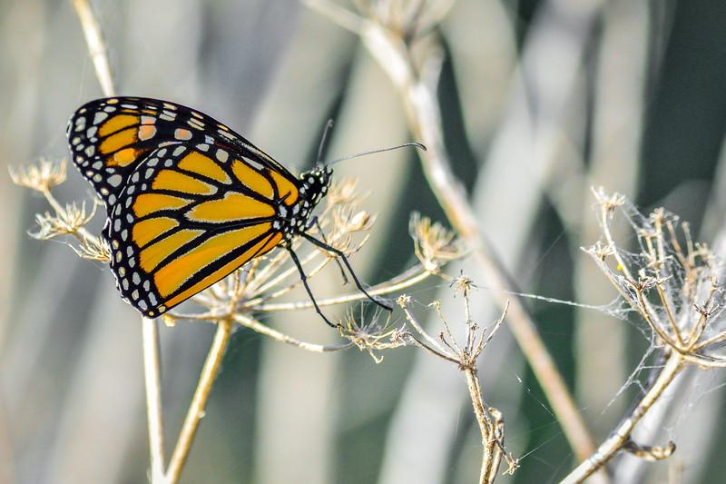 -Brad R Lewis_Butterfly - Butterfly - Coyote Creek Trail 2014-07-25_015.jpg