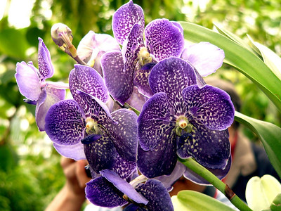Orchid Show NY Botanical Garden