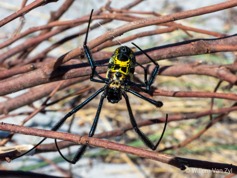 20200201 Golden Orb-Weaver (Triconephila sp.) from Table View, Western Cape