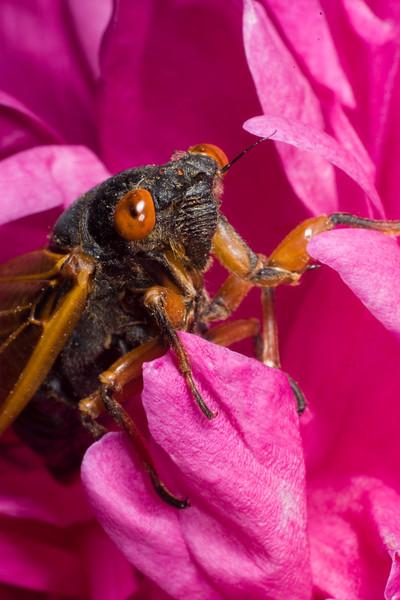 13 Year Periodic Cicada D7519