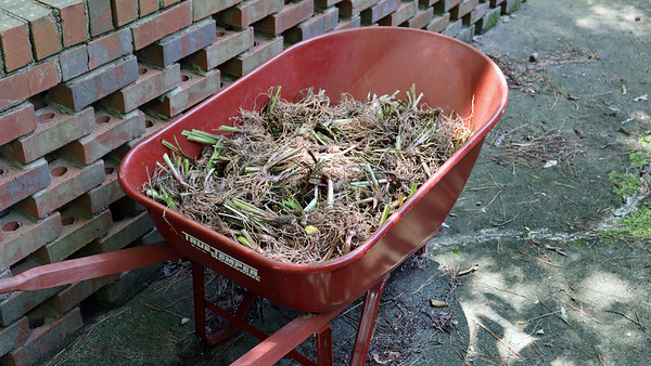 July 26:  First round of replanting some irises .  .  .