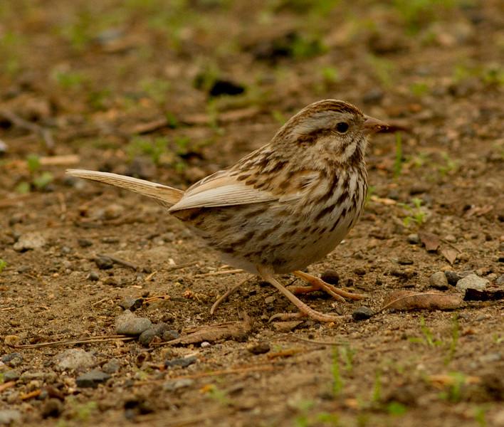 Song Sparrow Camp Pendleton 2015 01 10-3.CR2
