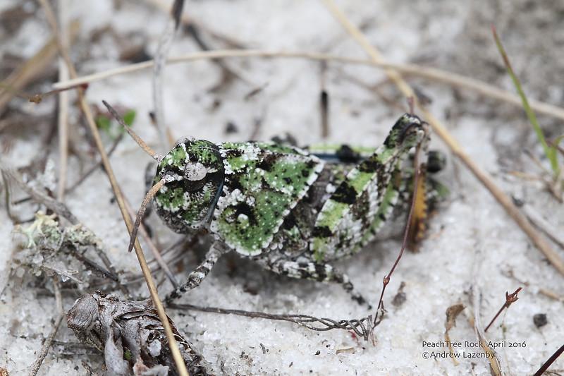 Grasshopper 3.jpg