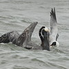Brown Pelican and Laughing Gull with the same Menhaden, 04.12.2015, Brazoria County, Texas