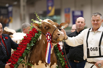 Royal Red Holstein Cows 2018