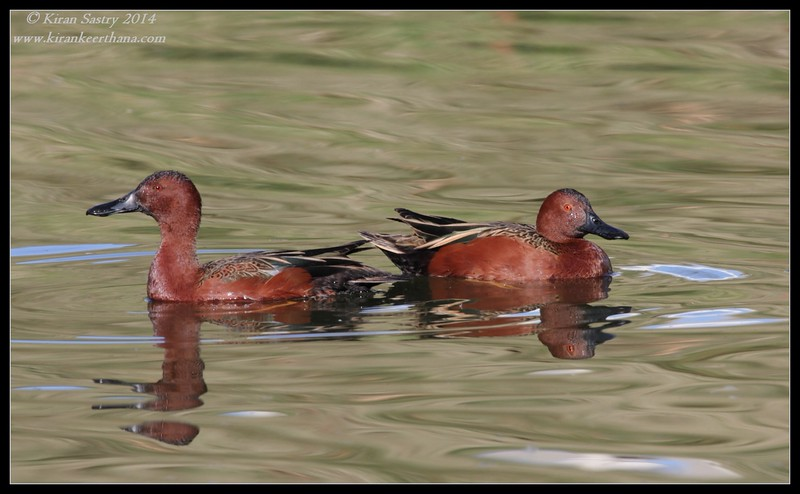 Cinnamon Teal males, Santee Lakes, San Diego County, California, February 2014