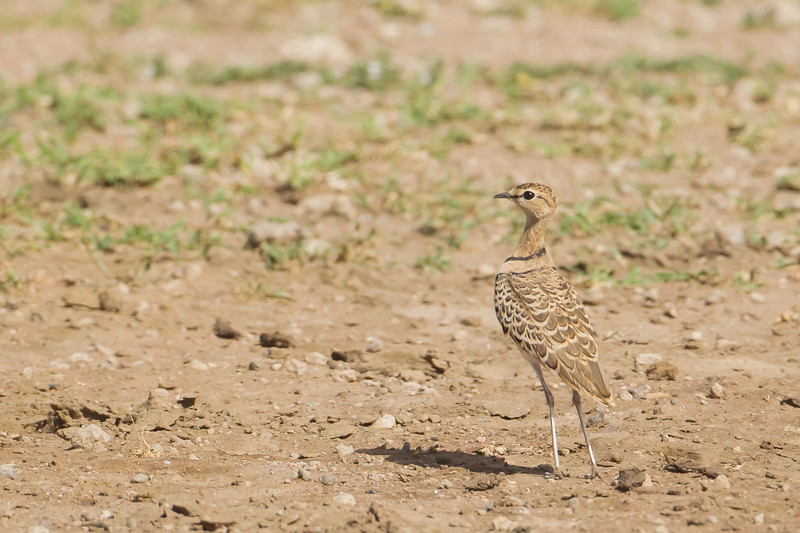 Two-banded Courser - Serengeti National Park, Tanzania