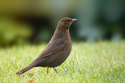 Black Bird (Turdus merula)