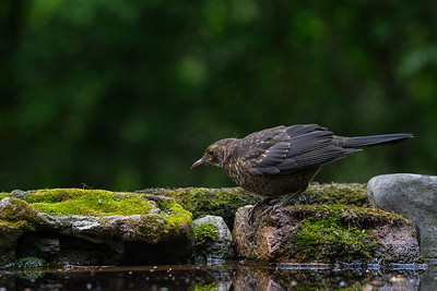Birds from Hungary
