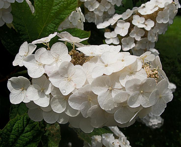 white hydrangia.jpg