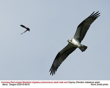OspreyA&RedWingedBlackbirdM8070.jpg