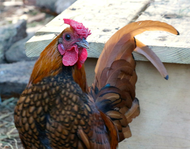 Rudy the Rooster_Pat Hoffman.jpg