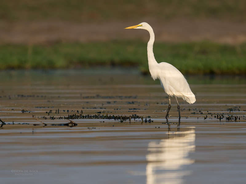 Great Egret, Chobe River, NAM, Oct 2016-4.jpg