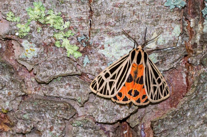 Grammia virgo Virgin Tiger Moth 93-0244 8197 Family Erebidae Skogstjarna Carlton County MN IMG_1711.jpg