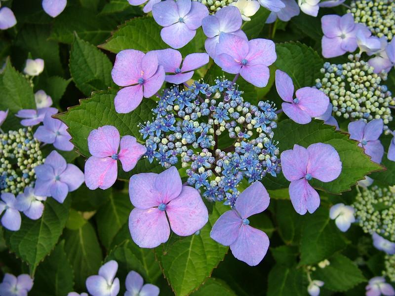 Lace Hydrangea 363.jpg