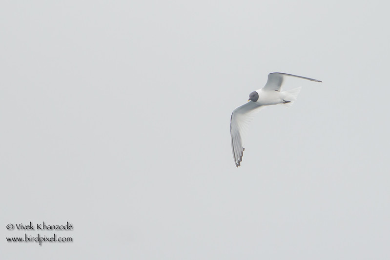 Sabine's Gull - SCVAS Farallones Pelagic trip - off Half Moon Bay, CA, USA