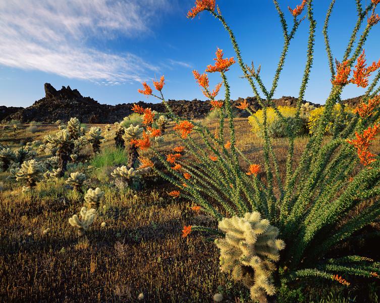 Biosphere Reserve of the, MEX/Pinacate & Gran Desierto Altar. Ocotillo (Fouquieria splendens)flowering with teddy bear cholla (Opuntia bigelovii) volcanic ash & lava flow.395h10