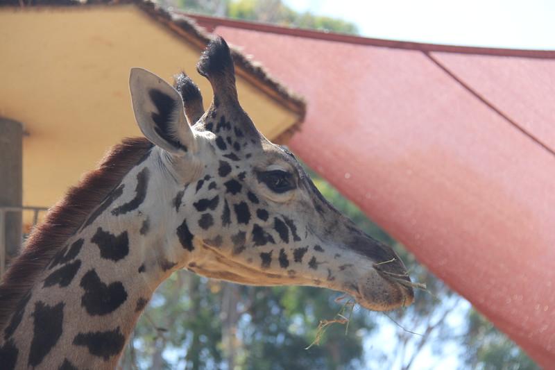 20170807-049 - San Diego Zoo - Giraffe.JPG