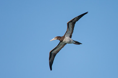 Booby (Sulidae)