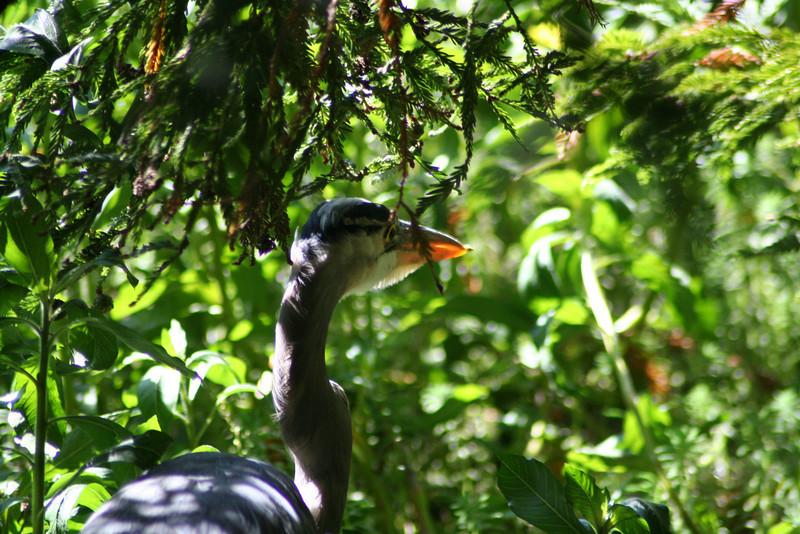 Hiding Great Blue Heron.JPG