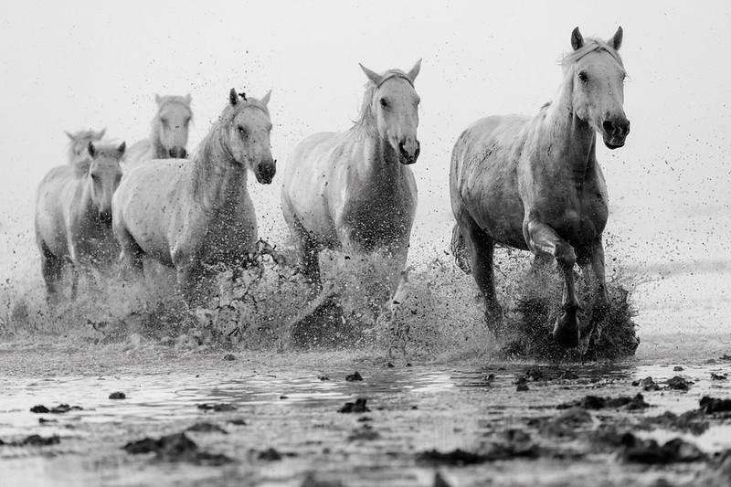 Camargue White Horses running in a marsh.