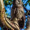 Barred Owl - Dinner Island Ranch WMA - March 2014