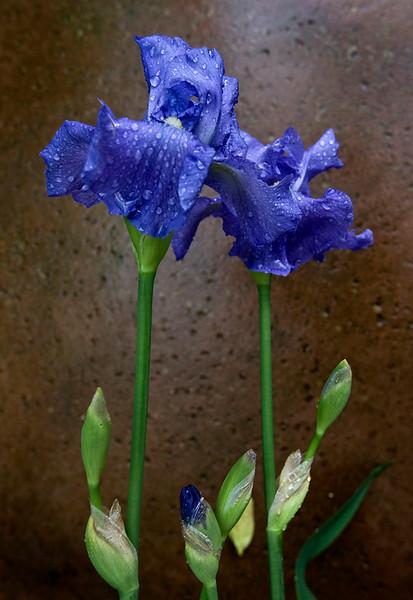 irisbloomsmall.jpg