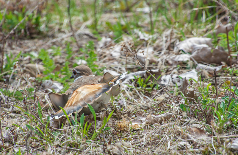 224-Killdeer-brokenwingdisplay-4.14.jpg