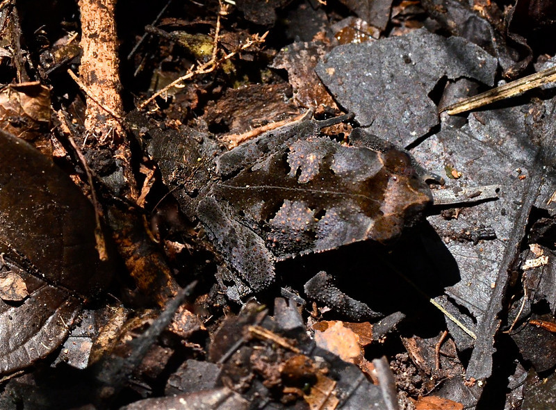 Crested Forest Toad ( Bufo margaritfer)