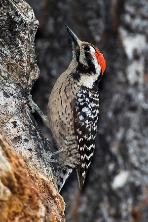 Woodpecker, Ladder-Backed