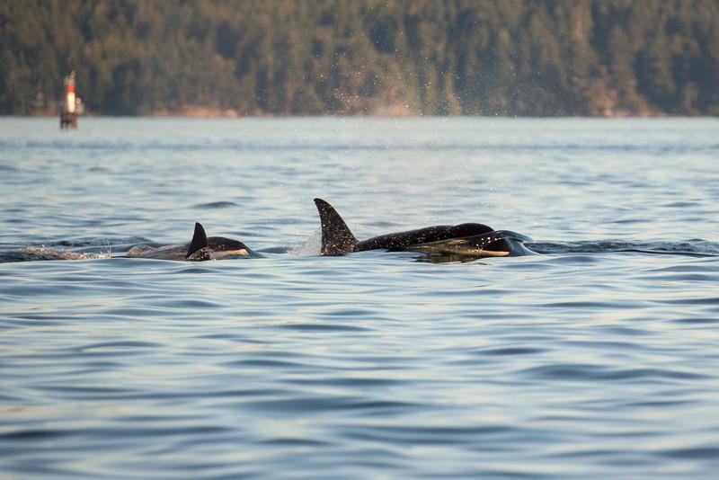 Orcas -  073115-552.jpg