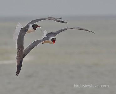 Shorebirds/Gulls