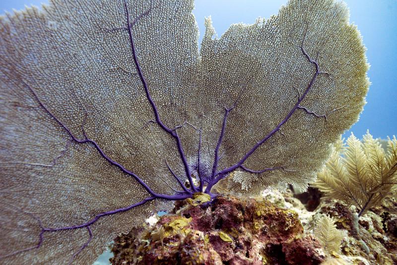 Details of sea fan coral underwater, Belize