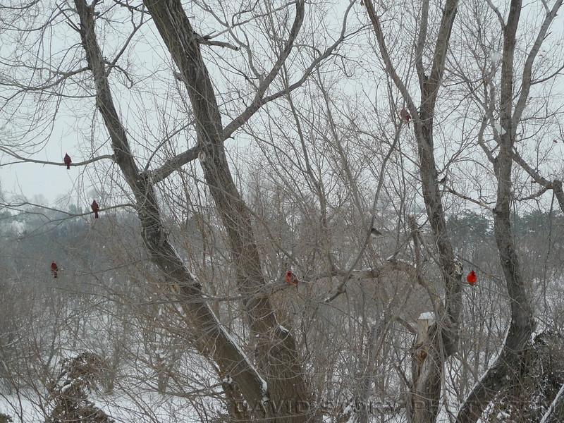 Nebraska cardinals.
