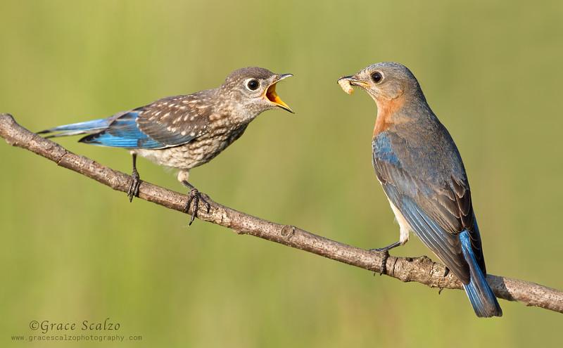 Eastern Bluebirds, Mom feeding Fledgling