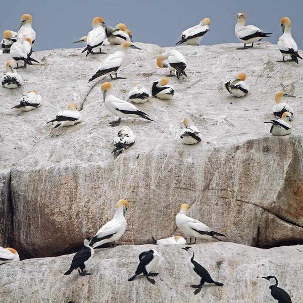 Australasian Gannet and Black-faced Cormorant