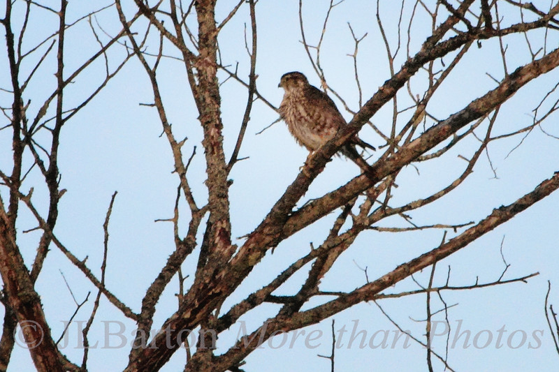 Cold Kestrel 2011-05-15 An American Kestrel sitting on a still bare tree in upper Vermont, feathers a bit puffed out from the termperature and wind.  Thanks for the comments on yesterday's picture.  My guess was Cowbird as well, so I guess it is.  Thanks, Lark.