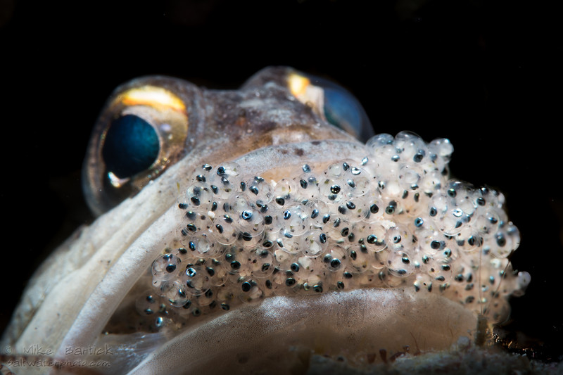 Jawfish with eggs-2_2018 (1 of 1).jpg