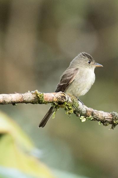 19-Sept Costa Rica Birds-2372.JPG