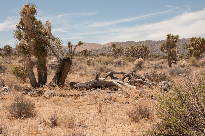 Joshua Tree Woodland in Lost Horse Valley