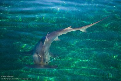 Tiger, Great Hammerhead, and Reef Sharks