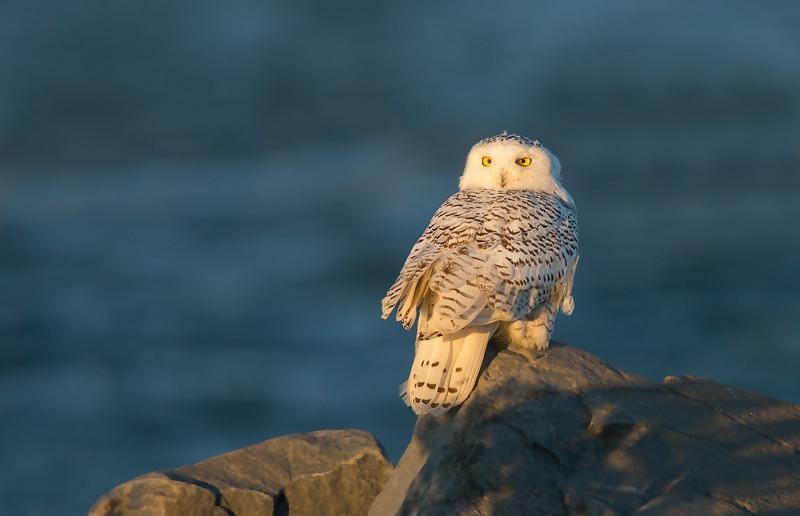 Snowy owl 121814_O8U6800.jpg
