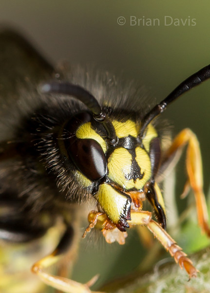 Wasps and Sawflies