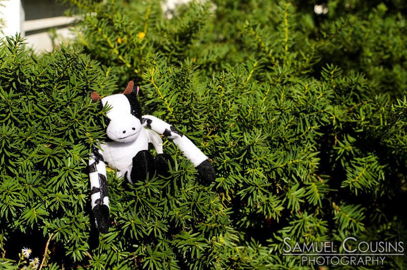 A lost stuffed cow that'd been placed in a hedge.