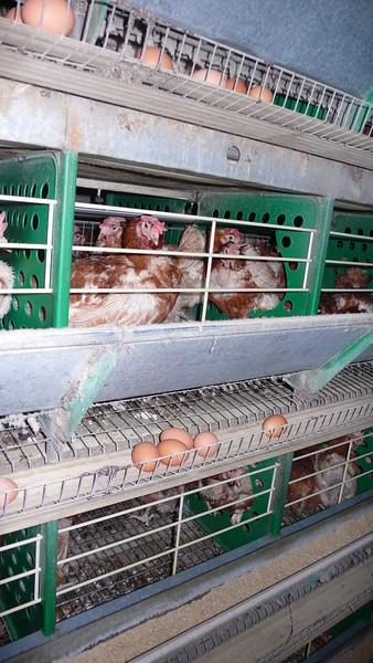 poules-pondeuses-2010-France--06 (1).jpg